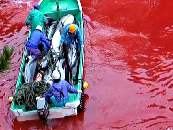 The reality of the Taiji dolphin drive. Photo courtesy of Oceanic Preservation Society