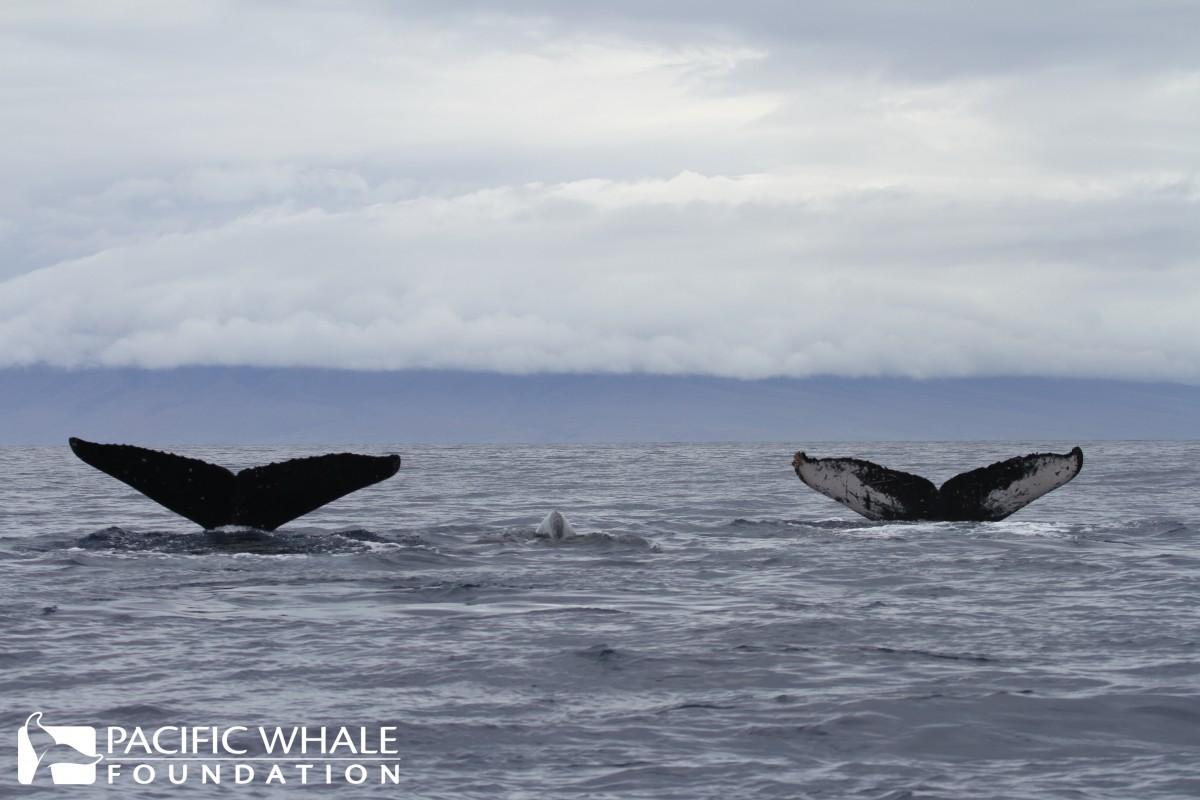 humpback whale fluke (PWF-Hawaii 2013)