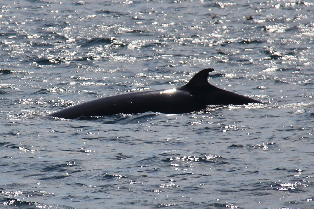 Minke Whale dorsal fin with notch. Photo courtesy of Stephanie Stack.