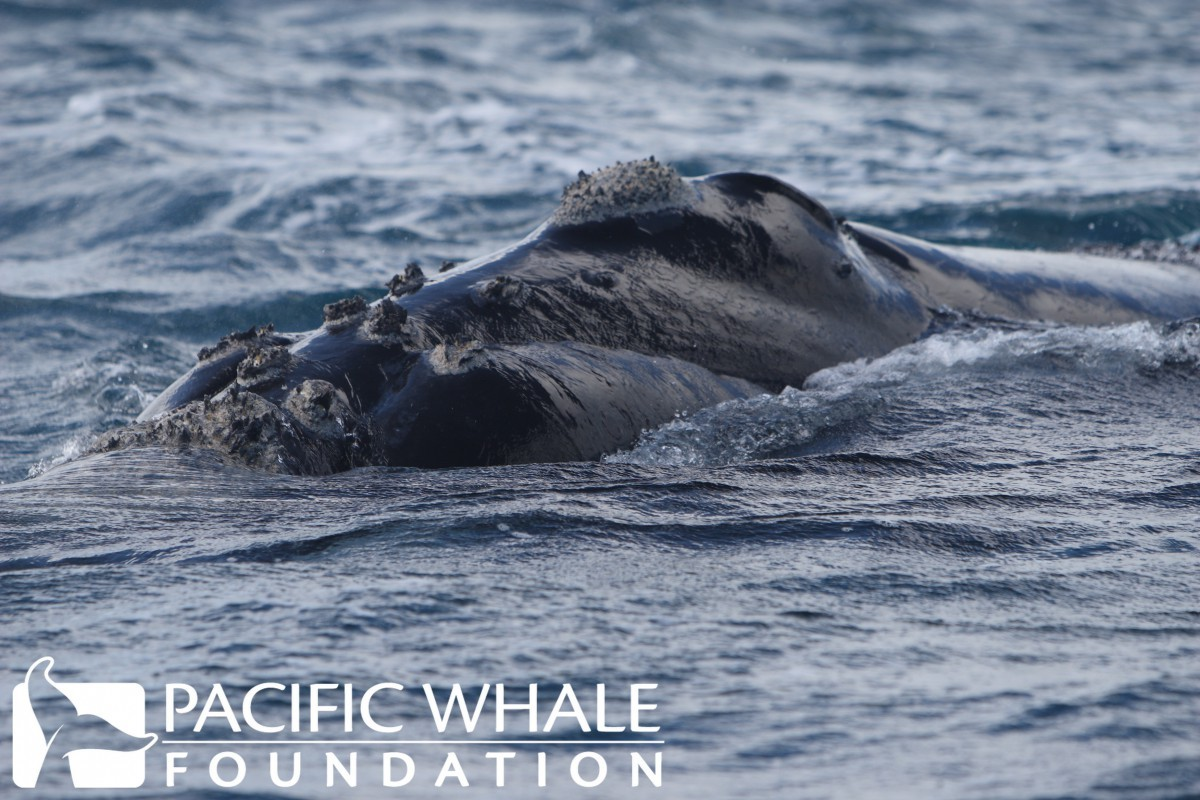 Southern Right Whale head with callosities.